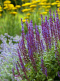 Salvia  Herbaceous Border with Blue Flower Spikes