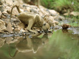 Yellow Baboon  Sub-Adult & Infant Drinking  Tanzania