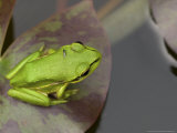 Green and Golden Bell Frog  Juvenile on Water Lily Leaf  New Zealand