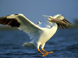 American White Pelican  Texas  USA