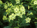 "Nicotiana Alata ""Lime Green"" in Flower"