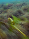 Seahorse  Swimming Over Vegetation  New Zealand