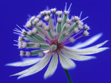 Astrantia (Masterwort)  Flower on Dark Blue Background