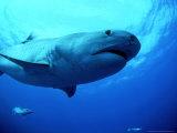 Tiger Shark  Aliwal Shoal  South Africa