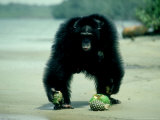 Common Chimpanzee  Mature Male  Aggressively Guarding Fruit He is Eating