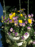 Hanging Pot with Viola Spring