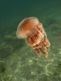 Jellyfish  New Zealand