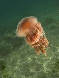 Jellyfish  New Zealand