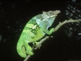Fischers Chameleon  Male  Tanzania