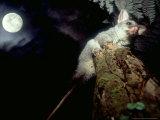 Brushtail Opossum  Juvenile  New Zealand