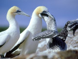 Australian Gannet  Feeding Chick  New Zealand