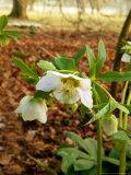 Helleborus Orientalis (Lenten Rose)  Flowers  February