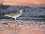 Willet  Florida  USA