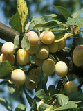 "Plum ""Mirabelle De Nancy"" Golden Fruit on Tree"