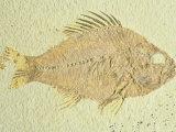 Fish-Priscacara Species  Eocene  Green Rive Formation  Wyoming