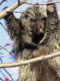 Porcupine in Tree of Rosehips