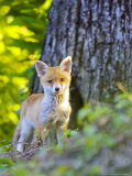 Red Fox  Fox Cub Standing Outside Den  Vaud  Switzerland