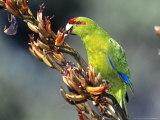 Red-Crowned Parakeet  Cyanoramphus Novaezelandiae Feeding on New Zealand Flax  New Zealand