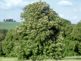 Horse Chestnut in Summer  UK