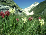 Elder-Flowered Orchid  Red & Yellow Forms  French Pyrenees