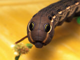 Sphinx Moth Caterpillar with False Eye Spots