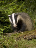 Badger  Climbing on Tree Stump  Vaud  Switzerland