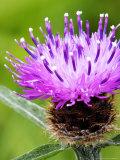 Common Knapweed  Flower Close Up  UK