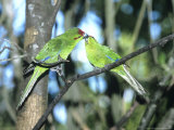 Red-Crowned Parakeet  Pair  NZealand