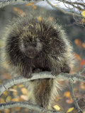 Porcupine in Aspen Tree in Autumn