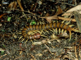 Giant Centipede  New Zealand