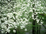 Dogwood Tree  Great Smoky Mnts National Park  USA