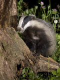 Badger on Tree Stump Foraging  Vaud  Switzerland