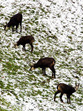 Chamois  Grazing in Snow  Switzerland