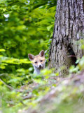 Red Fox  Fox Cub Peering Around Tree  Vaud  Switzerland