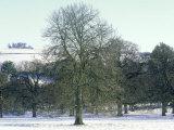 Horse Chestnut in Winter  UK