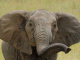 African Elephant  Portrait of Young Elephant  Kenya  Africa