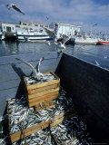Seagulls and Sardine Catch  Spain