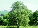 Horse Chestnut in Spring  UK