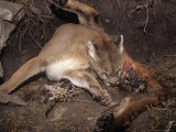 Mountain Lion  Female Giving Birth to Cubs  Rocky Mountains