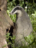 Badger  Foraging  Vaud  Switzerland