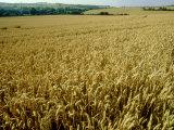 Wheat Field in Autumn