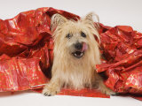 Adult Cairn Terrier Enjoying Christmas