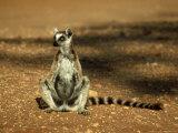 Ring-Tailed Lemur  Sunbathing  Madagascar