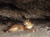 Mountain Lion  Adult and Young Cub in Den  Rocky Mountains