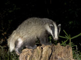 Badger  Foraging on Tree Stump  Vaud  Switzerland