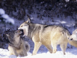 Gray Wolves  Submitting to Alpha Male  Montana