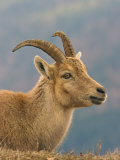 Ibex  Portrait of Female  Switzerland