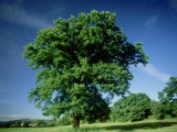 Oak in Summer