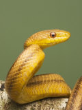 Yellow Rat Snake  Sarasota County  USA