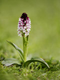 Burnt Orchid  Hampshire  UK